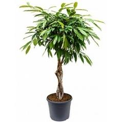 Фикус amstel king stem braided Диаметр горшка — 35 см Высота растения — 140 см