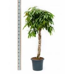 Фикус amstel king stem braided Диаметр горшка — 40 см Высота растения — 160 см