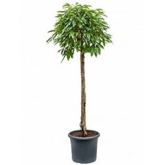 Фикус amstel king stem Диаметр горшка — 48 см Высота растения — 260 см