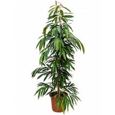 Фикус amstel king tuft Диаметр горшка — 32 см Высота растения — 165 см