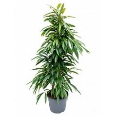 Фикус amstel king tuft Диаметр горшка — 35 см Высота растения — 135 см