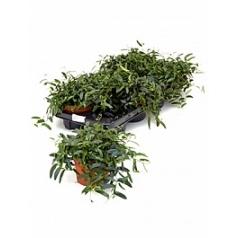 Фикус anouk hanger Диаметр горшка — 12 см Высота растения — 20 см