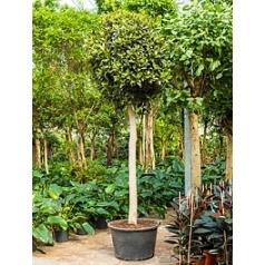Фикус australis stem Диаметр горшка — 80 см Высота растения — 350 см