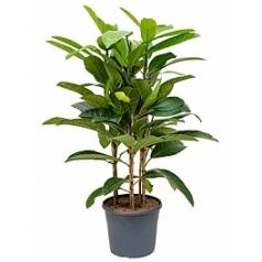 Фикус benghalensis roy tuft Диаметр горшка — 35 см Высота растения — 120 см