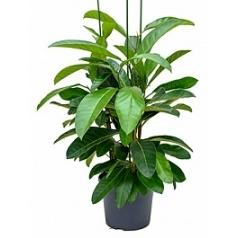 Фикус benghalensis roy tuft Диаметр горшка — 35 см Высота растения — 150 см