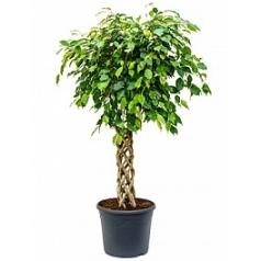 Фикус Бенджамина cilinder Диаметр горшка — 35 см Высота растения — 150 см