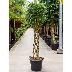 Фикус Бенджамина cilinder Диаметр горшка — 55 см Высота растения — 275 см