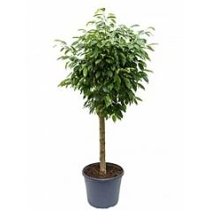 Фикус Бенджамина columnar stem Диаметр горшка — 35 см Высота растения — 140 см