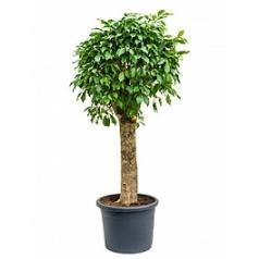 Фикус Бенджамина columnar stem Диаметр горшка — 40 см Высота растения — 140 см