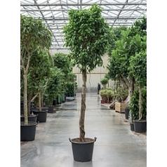 Фикус Бенджамина columnar stem Диаметр горшка — 60 см Высота растения — 325 см