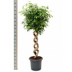Фикус Бенджамина spiral double Диаметр горшка — 40 см Высота растения — 170 см