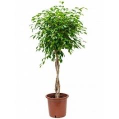 Фикус Бенджамина stem braided Диаметр горшка — 35 см Высота растения — 140 см