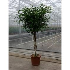 Фикус Бенджамина stem braided Диаметр горшка — 40 см Высота растения — 190 см