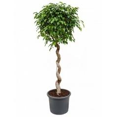 Фикус Бенджамина stem corkscrew Диаметр горшка — 40 см Высота растения — 180 см
