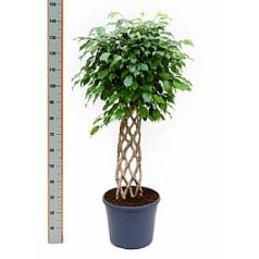 Фикус Бенджамина stem hedge Диаметр горшка — 35 см Высота растения — 160 см