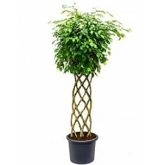 Фикус Бенджамина stem hedge Диаметр горшка — 40 см Высота растения — 170 см
