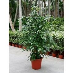 Фикус Бенджамина tuft Диаметр горшка — 32 см Высота растения — 180 см