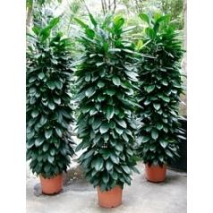 Фикус cyathistipula column Диаметр горшка — 35 см Высота растения — 210 см