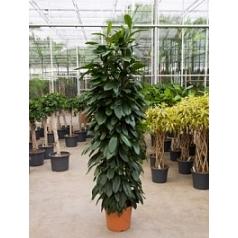 Фикус cyathistipula column Диаметр горшка — 31 см Высота растения — 180 см