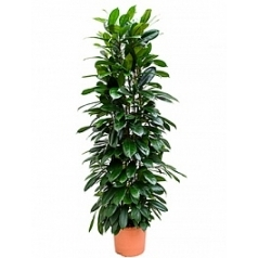 Фикус cyathistipula column Диаметр горшка — 29 см Высота растения — 150 см