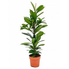 Фикус cyathistipula tuft Диаметр горшка — 21 см Высота растения — 110 см