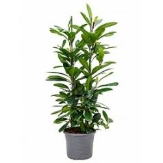 Фикус cyathistipula tuft Диаметр горшка — 29 см Высота растения — 120 см
