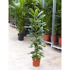 Фикус cyathistipula tuft Диаметр горшка — 24 см Высота растения — 125 см