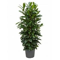 Фикус cyathistipula tuft Диаметр горшка — 35 см Высота растения — 150 см