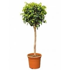 Фикус danielle stem Диаметр горшка — 28 см Высота растения — 130 см
