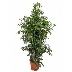 Фикус danielle tuft Диаметр горшка — 27 см Высота растения — 140 см