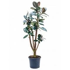 Фикус Эластика abidjan stem branched Диаметр горшка — 27 см Высота растения — 150 см