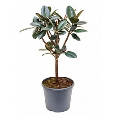 Фикус Эластика abidjan stem branched Диаметр горшка — 35 см Высота растения — 110 см