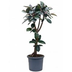 Фикус Эластика abidjan stem branched Диаметр горшка — 40 см Высота растения — 200 см