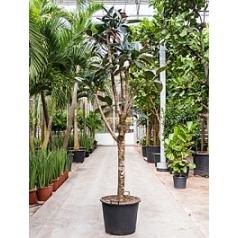 Фикус Эластика abidjan stem branched Диаметр горшка — 55 см Высота растения — 350 см