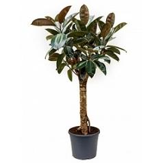 Фикус Эластика abidjan stem Диаметр горшка — 35 см Высота растения — 130 см