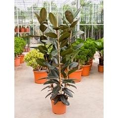Фикус Эластика abidjan tuft 3pp Диаметр горшка — 35 см Высота растения — 160 см