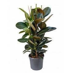 Фикус Эластика abidjan tuft Диаметр горшка — 31 см Высота растения — 100 см