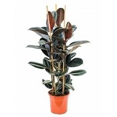 Фикус Эластика abidjan tuft Диаметр горшка — 23 см Высота растения — 100 см