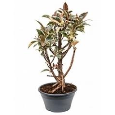 Фикус Эластика tineke petit branched Диаметр горшка — 20 см Высота растения — 55 см