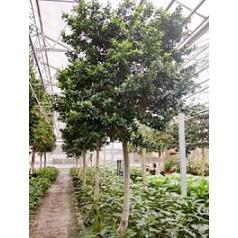 Фикус fibrosa stem branched head Диаметр горшка — 60 см Высота растения — 400 см