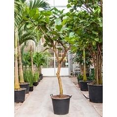 Фикус Лира (325-350) branched Диаметр горшка — 60 см Высота растения — 325 см