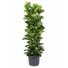 Фикус Лира bambino toef 4pp Диаметр горшка — 35 см Высота растения — 150 см