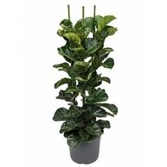 Фикус Лира bambino tuft 3pp Диаметр горшка — 31 см Высота растения — 110 см