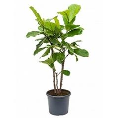 Фикус Лира branched Диаметр горшка — 29 см Высота растения — 120 см
