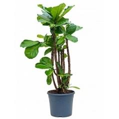 Фикус Лира branched Диаметр горшка — 31 см Высота растения — 140 см
