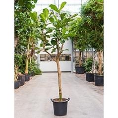 Фикус Лира branched Диаметр горшка — 50 см Высота растения — 300 см