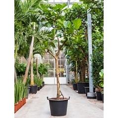 Фикус Лира branched Диаметр горшка — 55 см Высота растения — 325 см