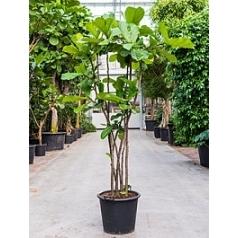 Фикус Лира multi stem Диаметр горшка — 50 см Высота растения — 220 см