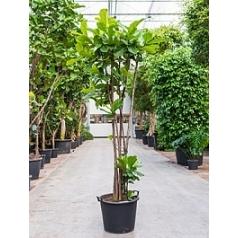 Фикус Лира multi stem Диаметр горшка — 55 см Высота растения — 250 см
