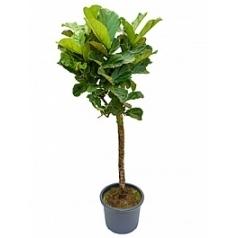 Фикус Лира stem Диаметр горшка — 40 см Высота растения — 180 см